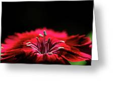 Dianthus In Desperation Greeting Card