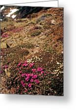 Diapensia And Lapland Rosebay Greeting Card