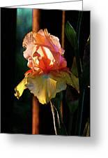 Digital Painting Iris Catching The Sun 6768 Dp_2 Greeting Card