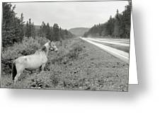 Dilemma On Highway #1, Chickaloon, Alaska Greeting Card