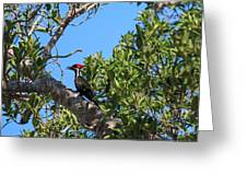 Ding Darling - Pileated Woodpecker Resting Greeting Card