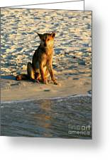 Dingo On The Beach Greeting Card