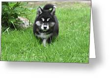 Dinstinctive Black And White Markings On An Alusky Pup Greeting Card