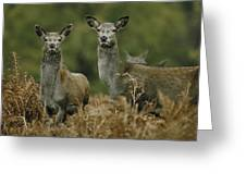 Doe And Young Deer Greeting Card