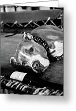 Dog At The Ring Greeting Card