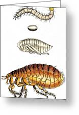 Dog Flea, Lifecycle, Illustration Greeting Card