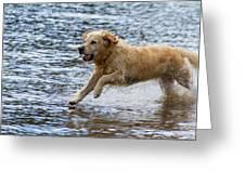 Dog Running On Shallow Lake Shore Greeting Card