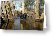 Dog Wading In Swollen River Greeting Card