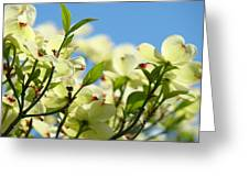 Dogwood Flowers Art Prints Canvas White Dogwood Tree Blue Sky Greeting Card