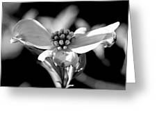 Dogwood In Black And White Greeting Card