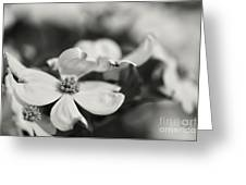 Dogwoods In Black And White Greeting Card