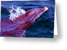 Dolphin In The Gulf Greeting Card