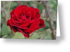 Don Juan Climbing Rose Greeting Card