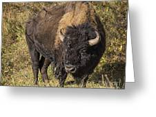 Don't Mess With This Bison Greeting Card