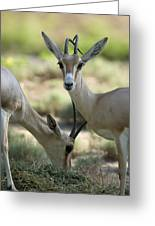 Dorcas Gazelle At The Sedgwick County Greeting Card