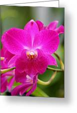 Dendrobium Orchid 2 Greeting Card