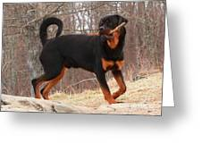 Rottie With A Tail And Stick Greeting Card
