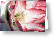Double Amaryllis Greeting Card