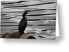 Double-crested Cormorant 20121101_128 Greeting Card