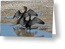 Double Crested Cormorant Pair Greeting Card