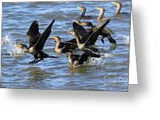 Double Crested Cormorants Greeting Card
