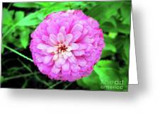 Double Pink Zinnia Greeting Card