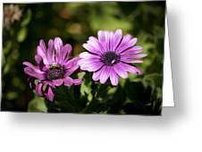 Double Purple African Daisy Greeting Card