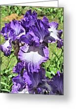 Double Ruffled Purple Iris Greeting Card