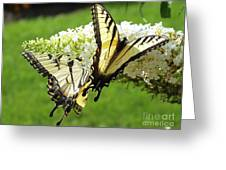 Double The Pleasure - Eastern Tiger Swallowtails Greeting Card