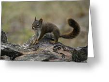 Douglas' Squirrel On The Rocks Greeting Card