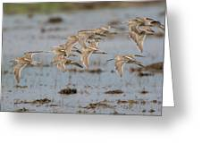 Dowitchers Greeting Card