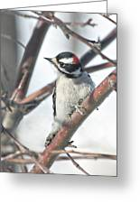 Downy Woodpecker In An Apple Tree Greeting Card