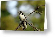 Downy Woodpecker In Fall Greeting Card