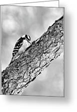 Downy Woodpecker Greeting Card