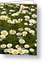 Dozens Of Daisies Greeting Card