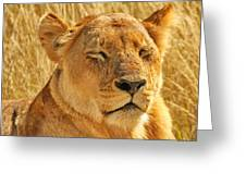Dozing Lioness Greeting Card