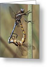 Dragonflies Mating Greeting Card