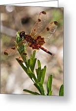 Dragonfly Resting 2 Greeting Card