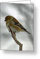 Dreaming Of Spring - American Goldfinch Greeting Card