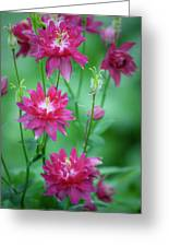 Dreamy Hot Pink Columbines Greeting Card