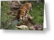 Drinking Tiger Greeting Card