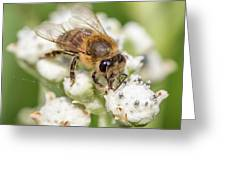 Drinking Up The Nectar, Apis Mellifera Greeting Card