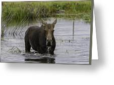 Drooling Cow Moose Greeting Card