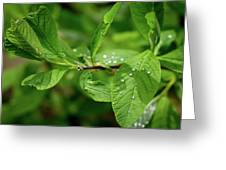 Droplets On Spring Leaves Greeting Card