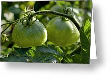 Drops On Immature Green Tomatoes After A Rain Shower Greeting Card by Sami Sarkis