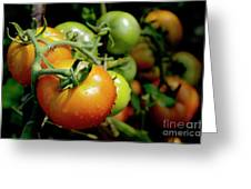 Drops On Immature Red And Green Tomato Greeting Card