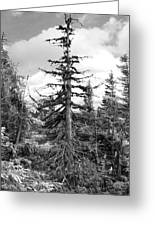 Dry Spruce Greeting Card