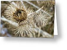 Dry Thistle Buds Greeting Card
