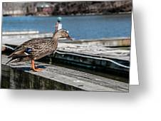 Duck About To Jump. Greeting Card