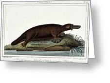 Duck-billed Platypus Ornithorhynchus Greeting Card